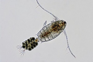 calanoid copepod female eggs