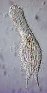 gastrotrich-chaeotonotus2