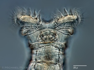 Head of rotifer