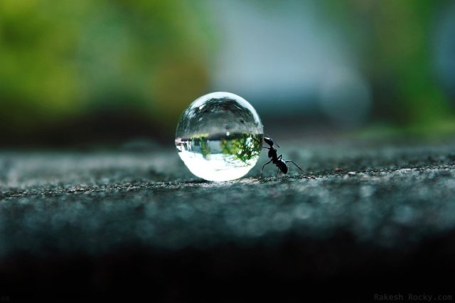 ant pushing droplet