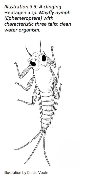 mayfly larva-credit