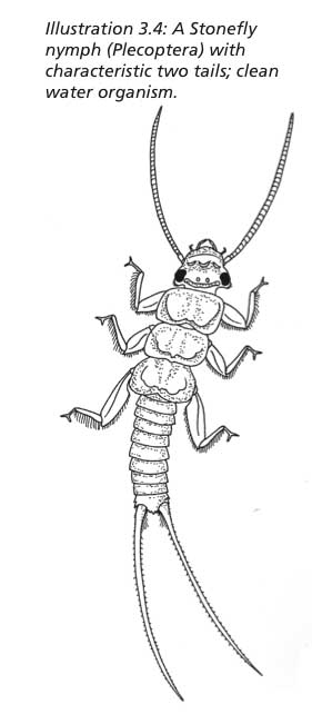 stonefly larva