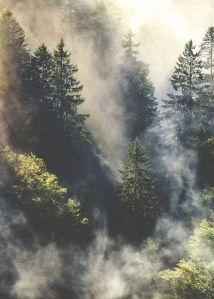 conifers in the mist