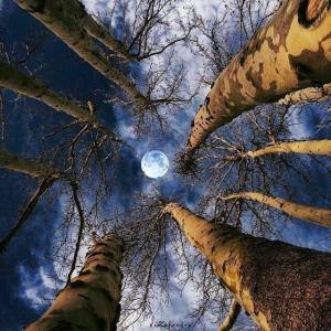trees-moon-looking-up