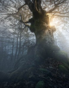 old beech in forest-enrico fossati copy