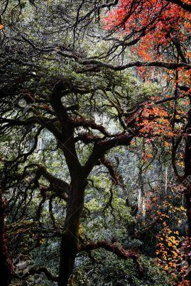 subtropical-tree-in-virgin-forest-Bhutan--Stock-Photo