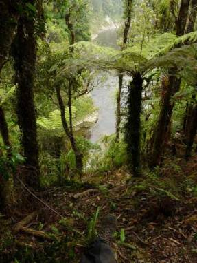 tree ferns in Whanganui river area