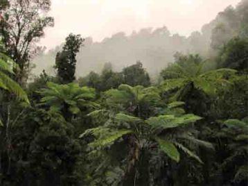 whanganui-tree ferns