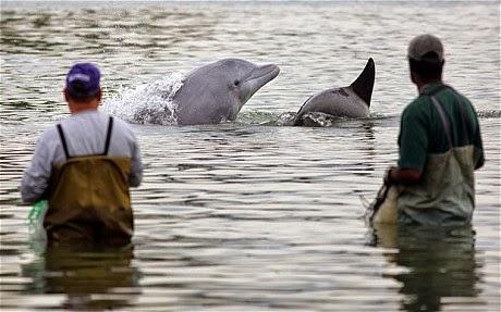dolphins-fishermen-laguna-brazil