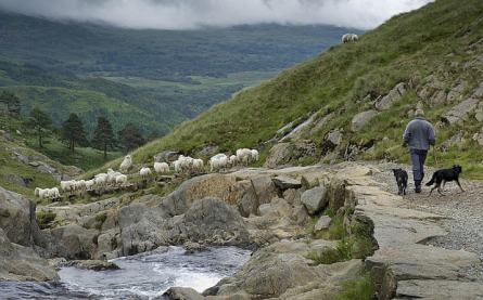 sheep and shepherd-britain