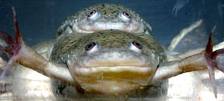 frogs-atrazine