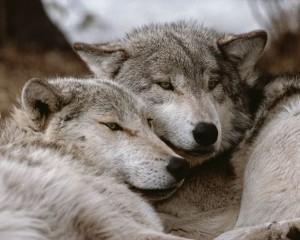 gray wolf socialization