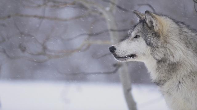 grey-wolf01