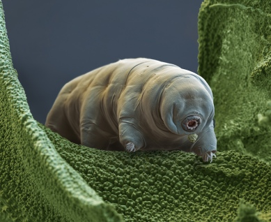 Water Bear or Tardigrade