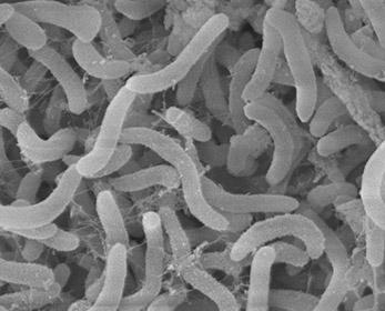Pelagebacterales-SAR11