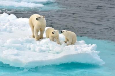 polarBears-ice