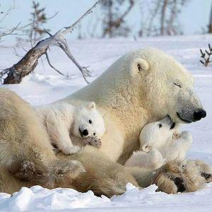 mom polarbear and family