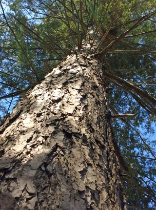 RougeRiver-TreeUp