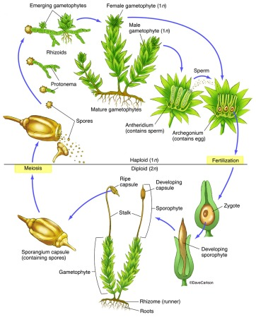 Moss-Life-Cycle2