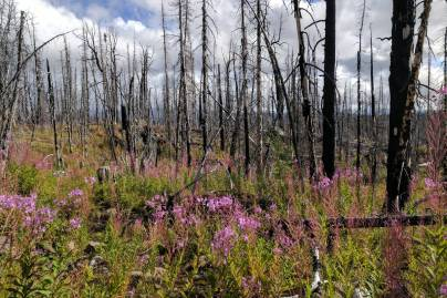 RegeneratingBurntForest TweedsmuirProvPark
