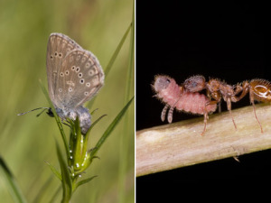 alconbluebutterfly-ants