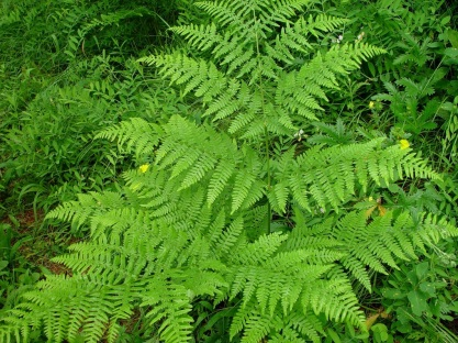 bracken fern copy