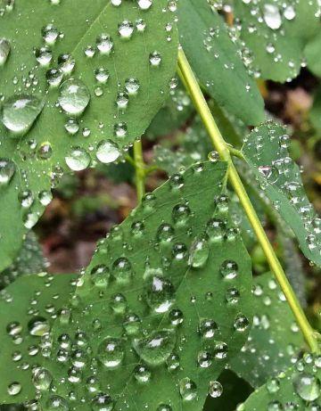 BlackLocust leaves-waterdrops