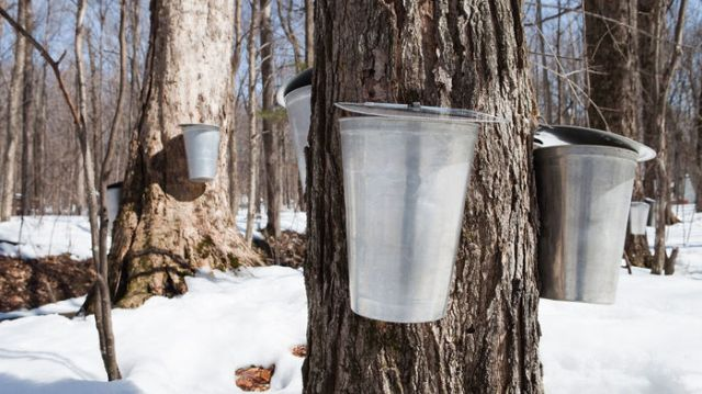maple sap containers