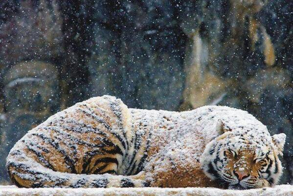 tiger sleeping snow