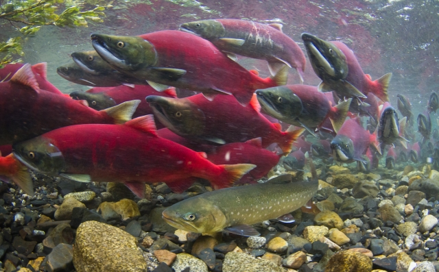 Alaskan salmon run