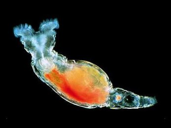 Bdelloid rotifer Philodina gregaria