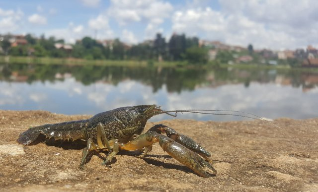 marbled crayfish2