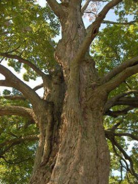 sugar maple-toronto