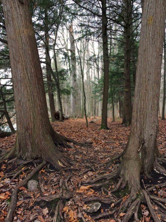 cedar trees-roots