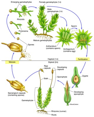Moss-Life-Cycle