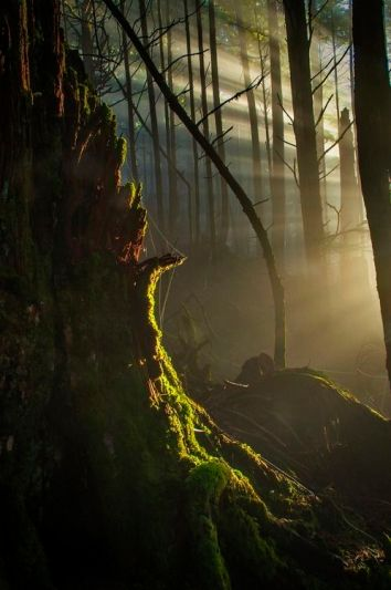 old forest light streaming