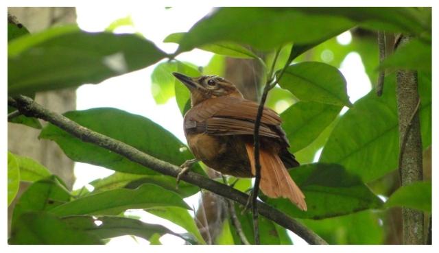 Alagoas foliage-gleaner-Brazil