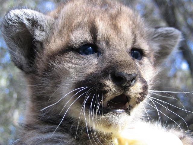 Eastern puma-kitten