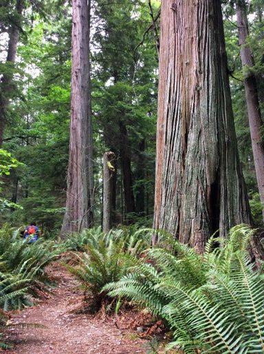 giant cedars3-LHP