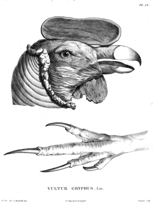 Humboldt-drawing Andean condor