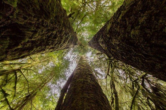 Sitka spruce Canada copy