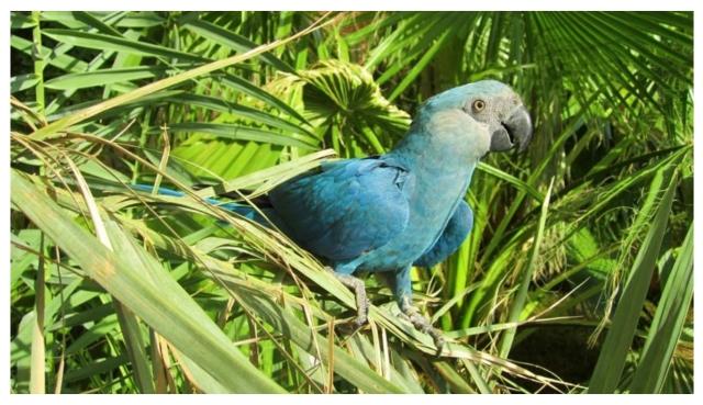 Spix's Macaw-Brazil