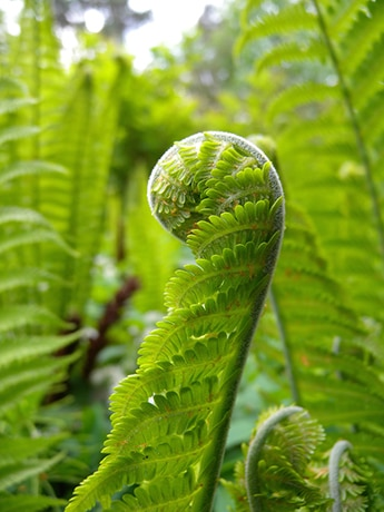 fiddlehead of ostrich fern