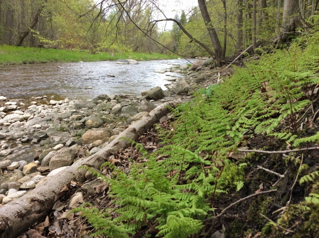 LittleRougeRiver ferns spring