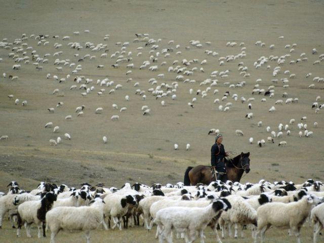 mongolian herder livestock