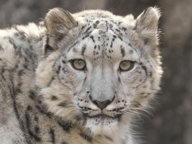 Snow Leopard-CLOSE-steve_tracy