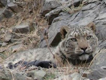 snow leopard mongolia