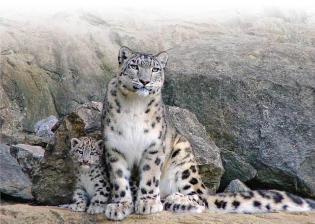 SnowLeopard mum-cub
