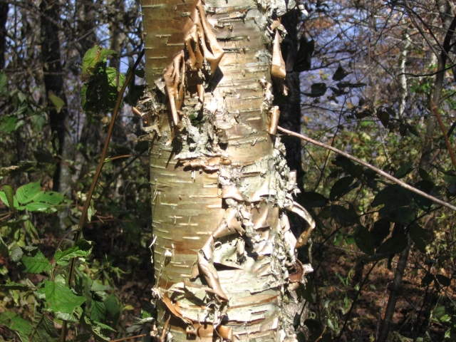 yellow birch young2