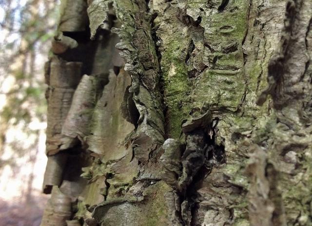 YellowBirch bark close2